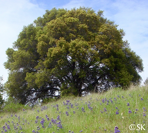 Quercus agrifolia  coast live oak