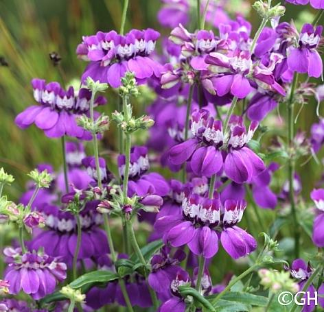 Collinsia heterophylla - Sierra Form  purple Chinese houses