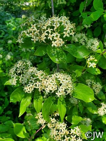 Cornus glabrata  browntwig dogwood