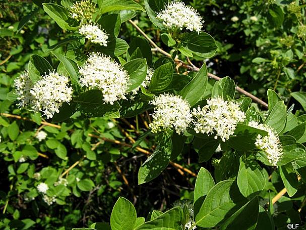 Cornus sericea 'Flaviramea' yellowtwig dogwood
