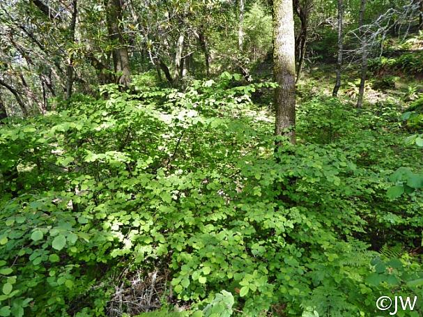 Corylus cornuta ssp. californica  western hazelnut