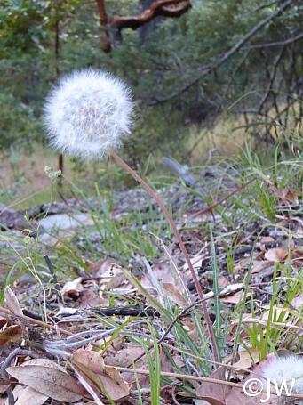 Agoseris grandiflora  California dandelion