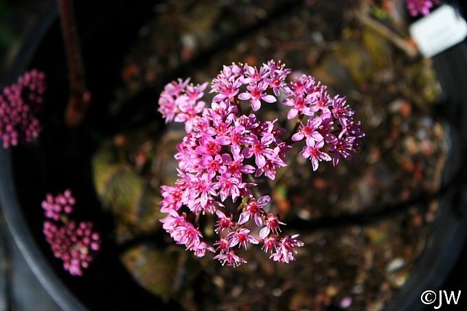 Darmera peltata - dwarf form  umbrella plant, indian rhubarb
