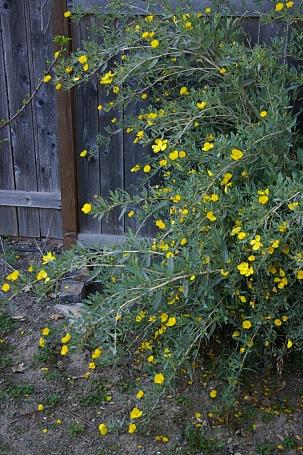 Dendromecon harfordii  island bush poppy