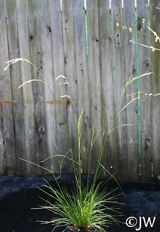 Deschampsia elongata  slender hairgrass