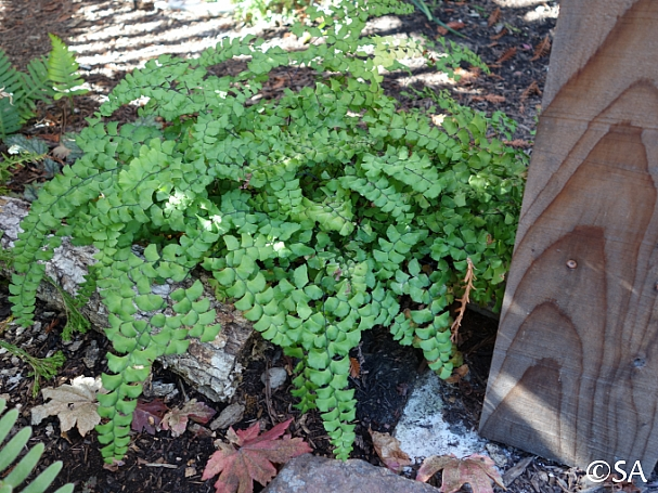 Adiantum x tracyi  Tracy's maidenhair fern