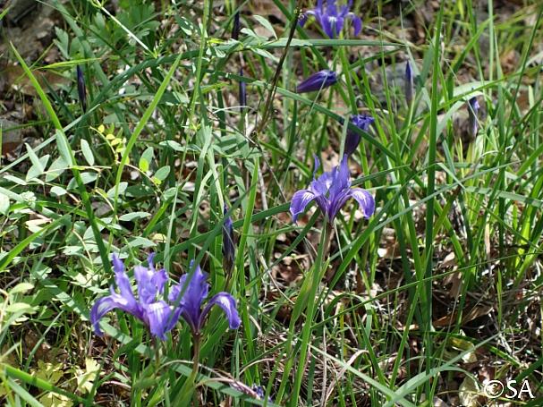 Iris macrosiphon  long tube iris