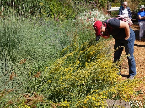 Solidago californica  western goldenrod