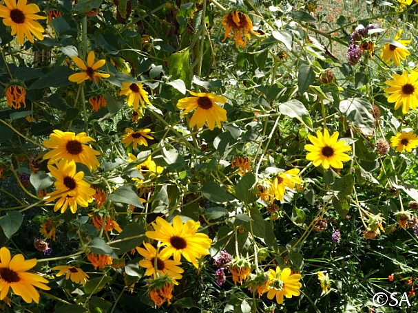 Helianthus annuus  common sunflower