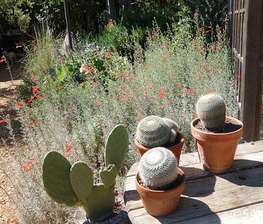 Epilobium canum 'Catalina' California fuchsia