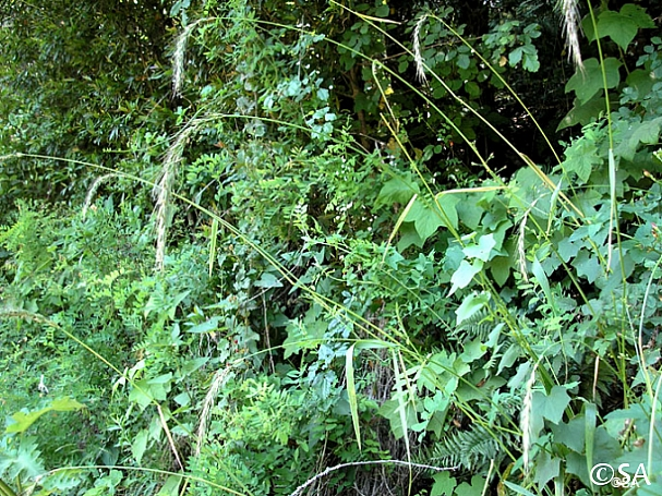 Elymus californicus  California bottlebrush grass