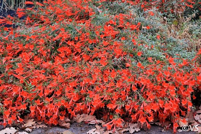 Epilobium canum 'Cloverdale' California fuchsia