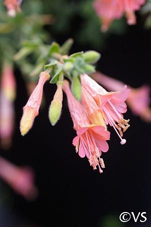 Epilobium canum 'Marin Pink' California fuchsia