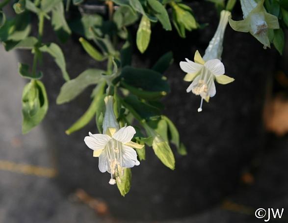 Epilobium canum 'Summer Snow' California fuchsia