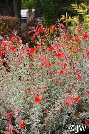 Epilobium canum 'Carman's Grey' California fuchsia