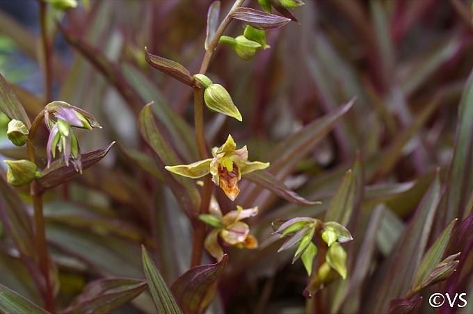 Epipactus gigantea 'Serpentine Night' stream orchid