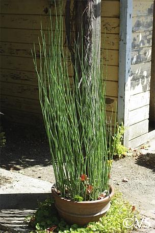 Equisetum hyemale v. robustum  horsetail