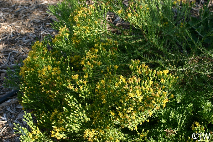 Ericameria ericoides  mock heather
