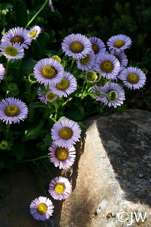 Erigeron glaucus 'Bountiful' seaside daisy