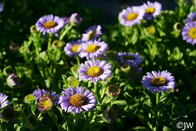 Erigeron glaucus 'Cal Flora' seaside daisy