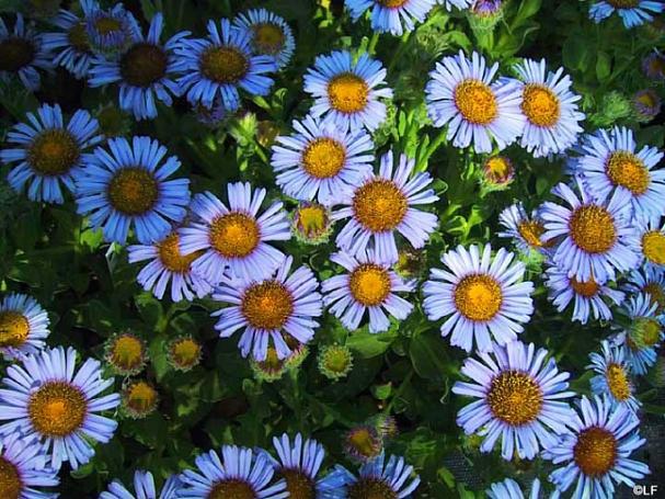 Erigeron glaucus 'Cape Sebastian' seaside daisy