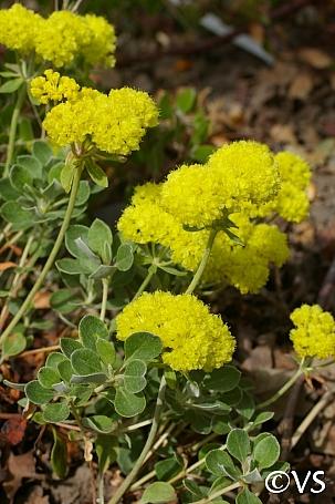 Eriogonum umbellatum var. polyanthum 'Shasta Sulphur' sulphur flower buckwheat