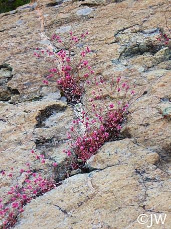Eriogonum vimineum  wicker buckwheat