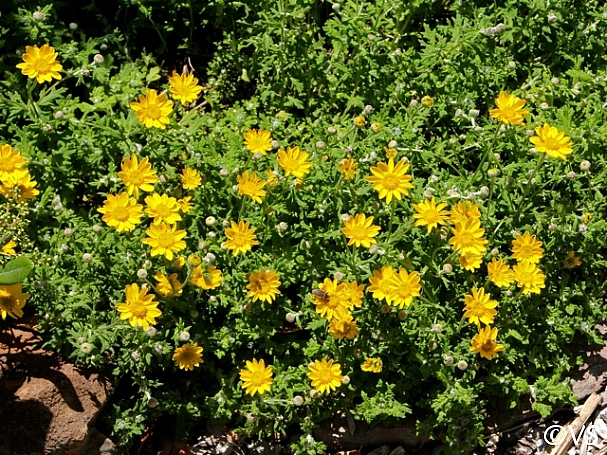 Eriophyllum lanatum 'Horseshoe Cove' woolly sunflower