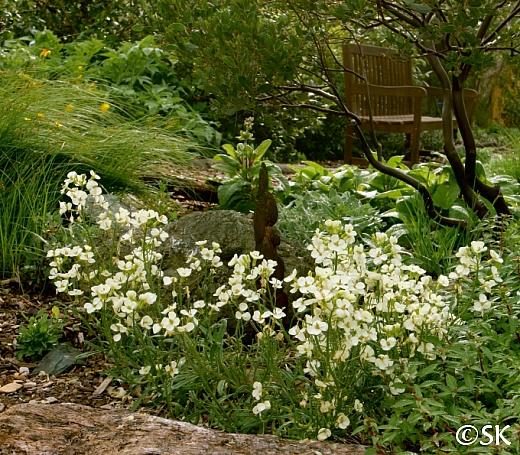Erysimum franciscanum  San Francisco wallflower