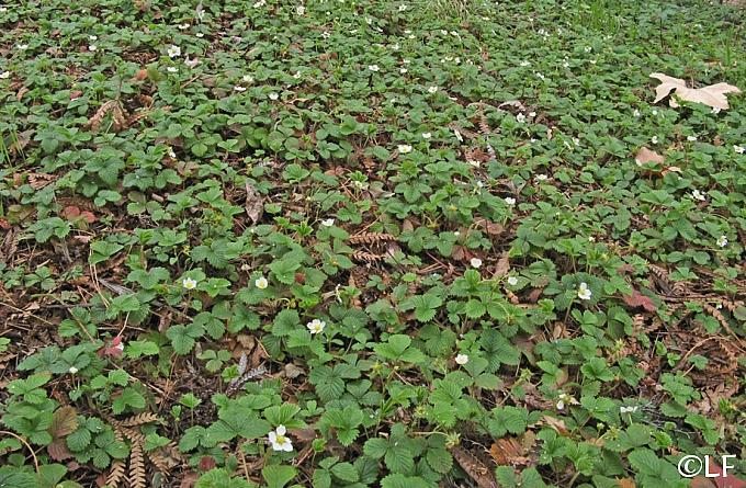 Fragaria vesca  woodland strawberry