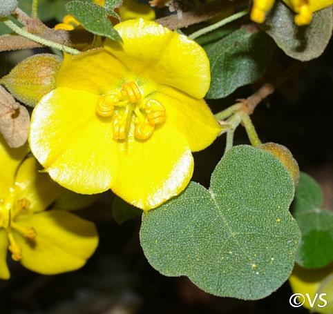 Fremontodendron  'Ken Taylor' flannel bush