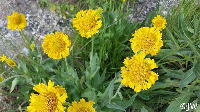 Helenium bigelovii  Bigelow's sneezeweed