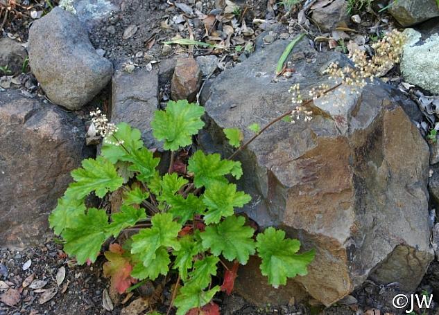 Heuchera maxima  Island alum root