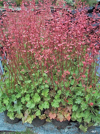 Heuchera  'Wendy' coral bells
