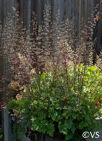 Heuchera micrantha  alum root