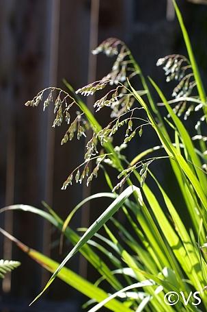 Hierochloe occidentalis  vanilla grass