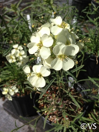 Erysimum franciscanum  San Francisco wallflower