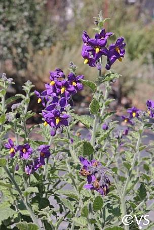 Solanum xanti 'Mountain Pride' purple nightshade