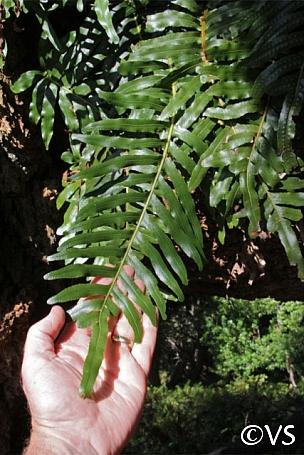 Polypodium scouleri  evergreen polypody