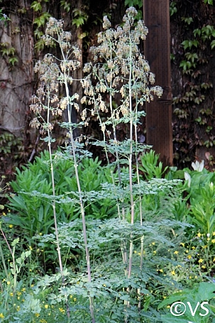 Thalictrum fendleri v. polycarpum  meadow rue