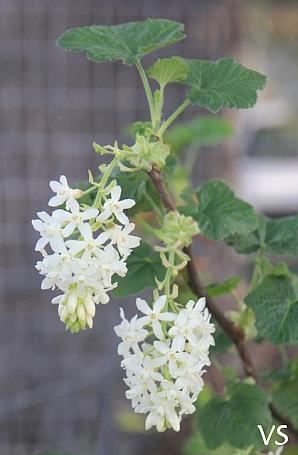 Ribes sanguineum v. glutinosum 'Cal Flora White' white flowering current