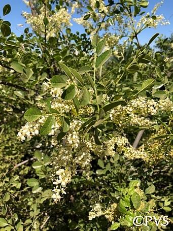 Fraxinus dipetala  flowering ash