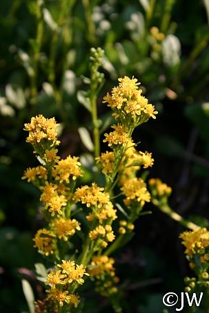 Solidago spathulata  coast goldenrod