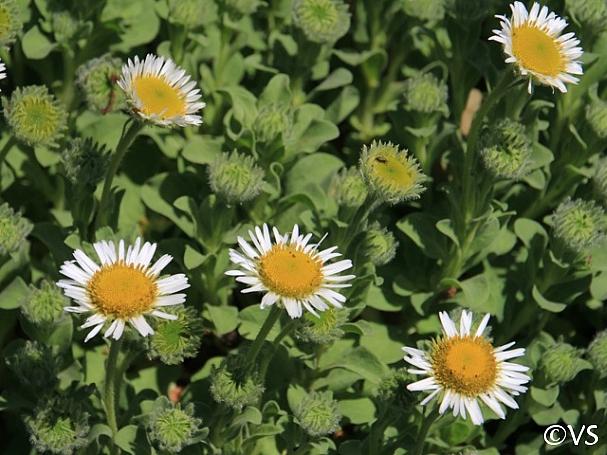 Erigeron glaucus 'White Lights' white seaside daisy