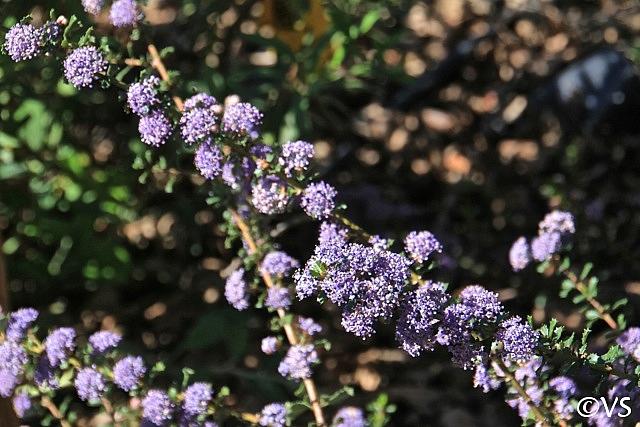 Ceanothus  'Blue Jeans' California lilac
