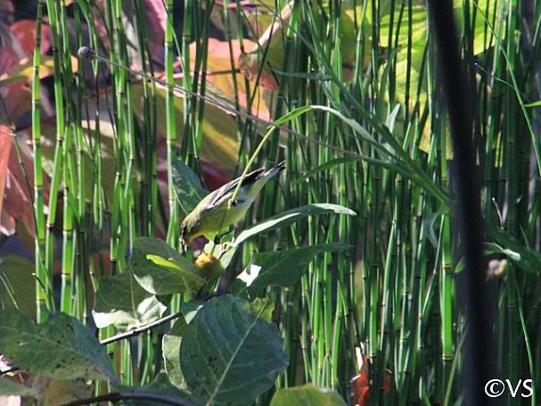 Helenium puberulum  rosilla