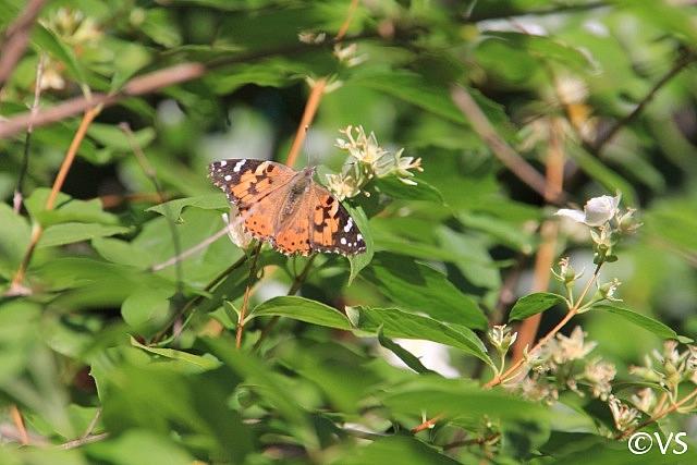 Philadelphus lewisii 'Marjorie Schmidt' western mock orange