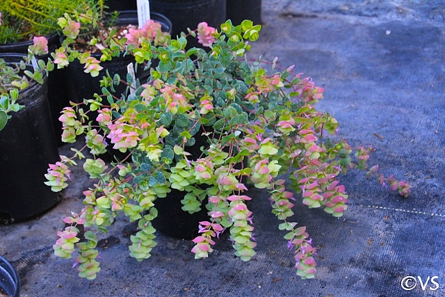 Origanum  'Barbara Tingey' ornamental oregano