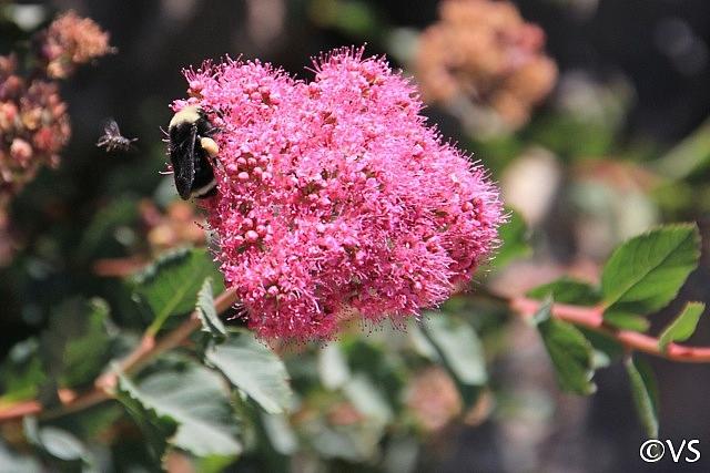 Spiraea densiflora  'Trinity Rose' mountain spiraea