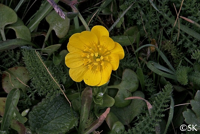 Ranunculus californicus  California buttercup